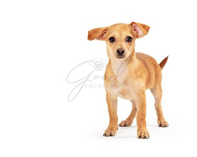Small Breed Brown Puppy Dog Standing on White