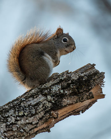Gray-Squirrel-4836-Full