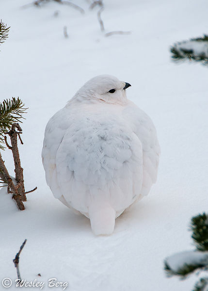 White-Tailed Ptarmigan with Winter Plumage
