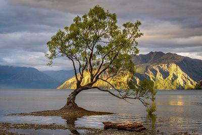 That Wanaka Tree. The famous willow tree growing in the lake in the destination town of Wanaka, New Zealand.