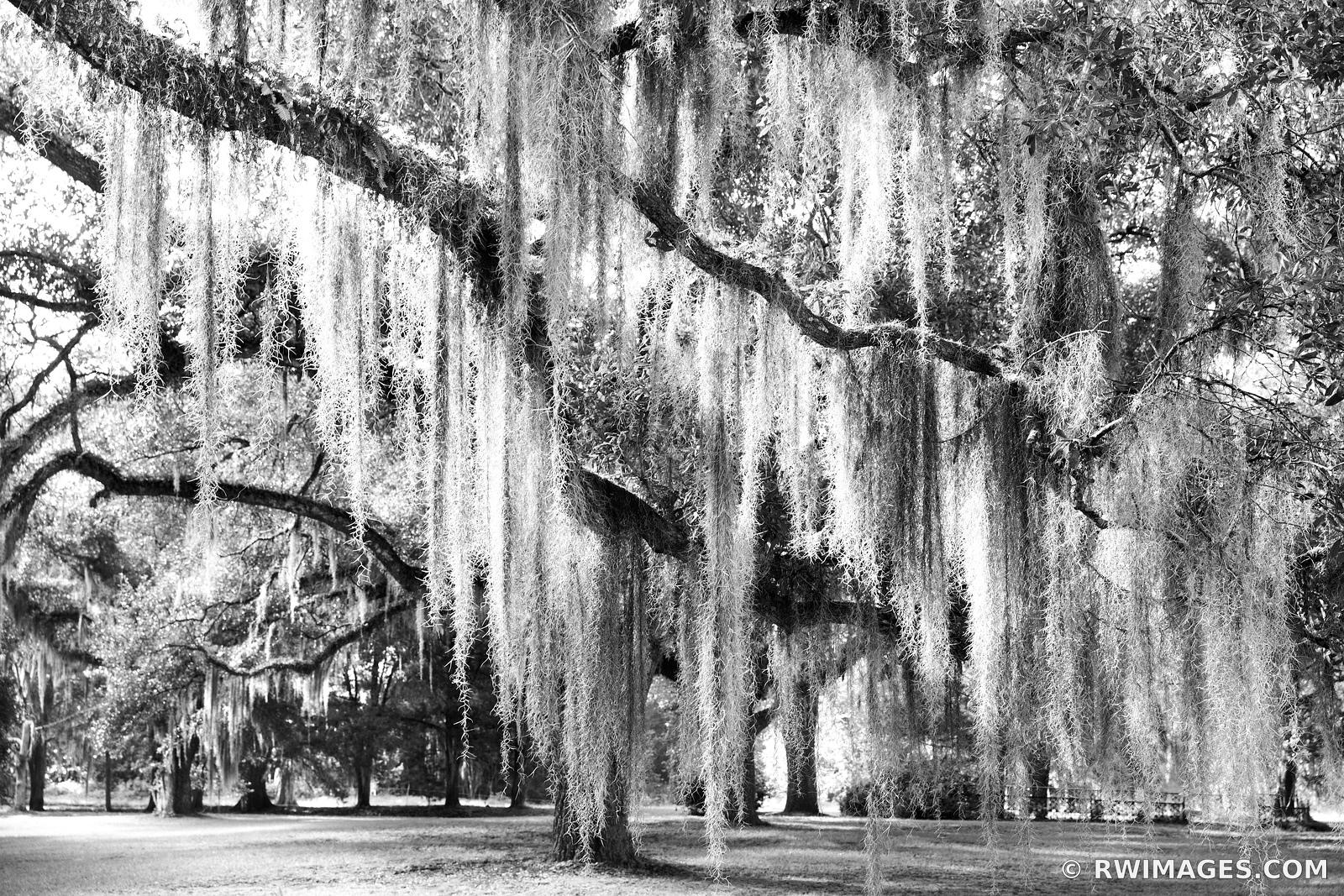 LIVE OAK TREES SPANISH MOSS ST. FRANCISVILLE LOUISIANA BLACK AND WHITE