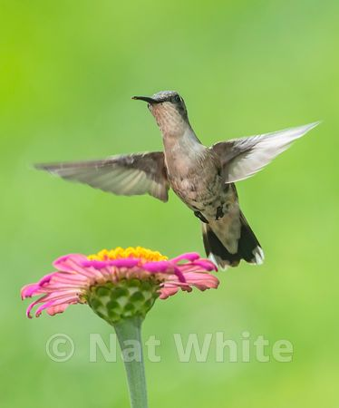 Hummingbird_in_Flight_Date_(Month_DD_YYYY)1_1600_sec_at_f_7.1_NAT_WHITE