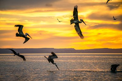 Brown Pelican diving into sea at sunset in Mexico.