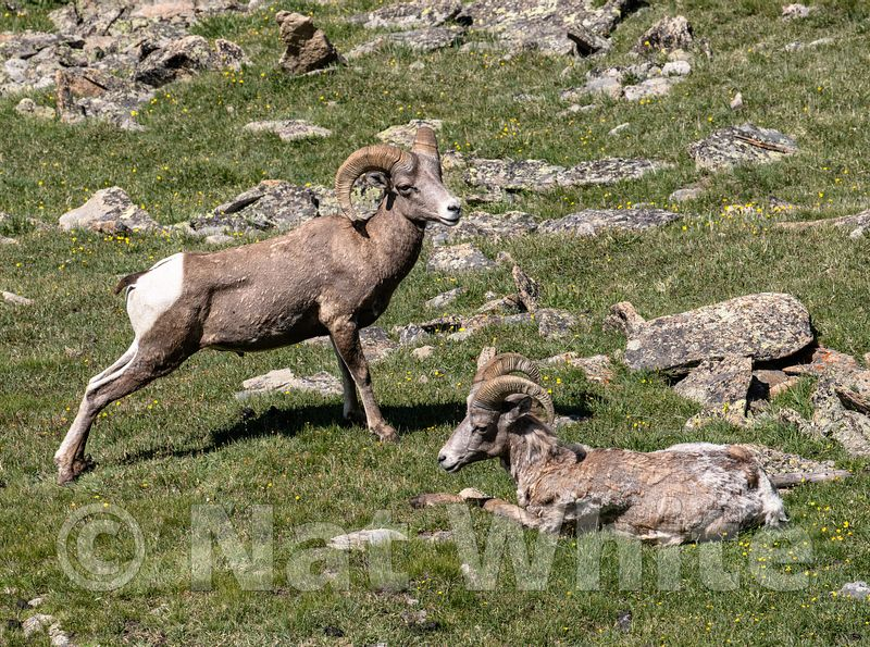 Big_Horn_Sheep_RMNP-Filename_number_suffix-_1July_24_2019_