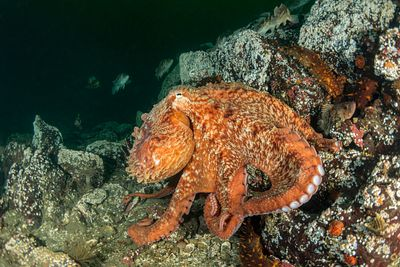 Giant Pacific Octopus, Enteroctopus dofleini, over rocky reef in Saanich Inlet