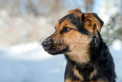 Young Shepherd mix winter snow outdoors looking to the left