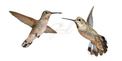 Hummingbirds In Flight Isolated