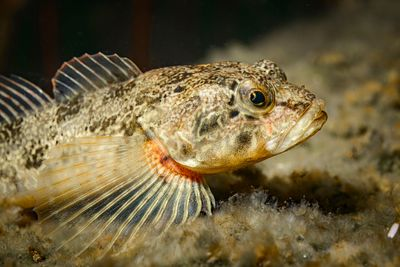 Side shot of a Prickly Sculpin, Cottus asper.