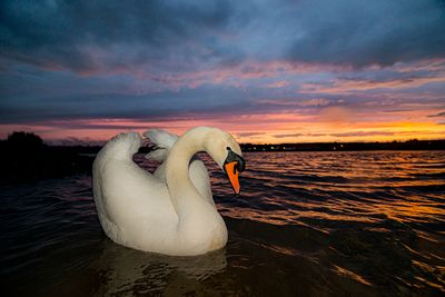 Mute Swan at sunset in the Campbell River Estuary.