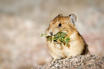 Pika with Salad
