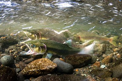 Pink Salmon Spawning sequence 1-07