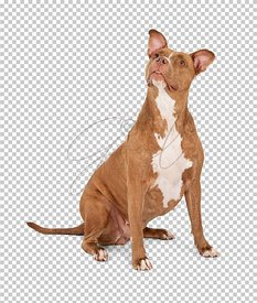 Pitbull-Terrier-Looking-Up