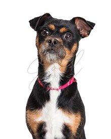 Surprised tricolor pet terrier dog isolated closeup