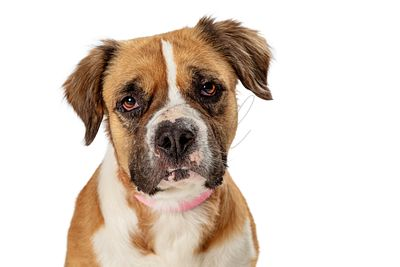 Cute pet mongrel dog closeup headshot isolated