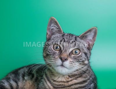 gorgeous young tabby cat looking into camera