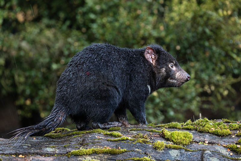 Portrait of a Tasmanian Devil
