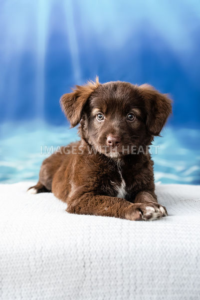 Brown Puppy Laying Down with Blue Background