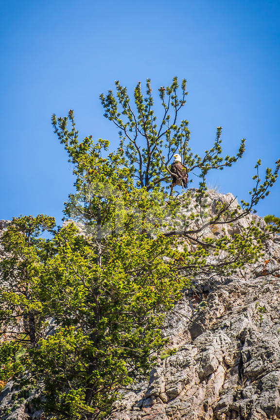 An American Bald Eagle in Helena National Forest, Montana