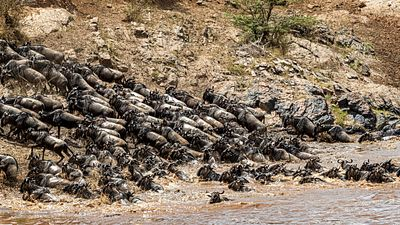 Wildebeest Climb Up River Bank After Crossing