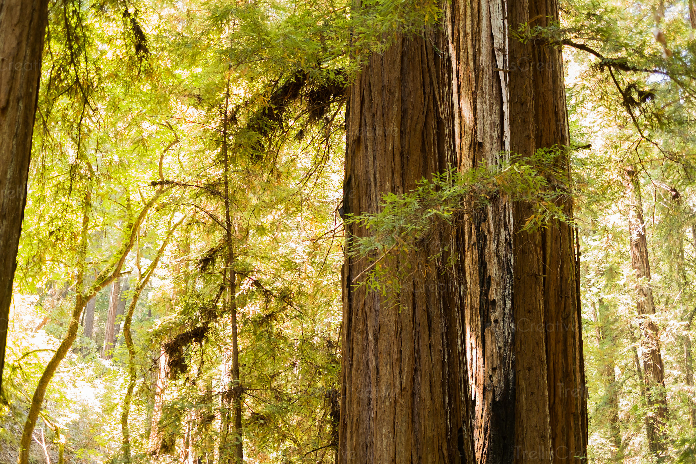 redwood-trees-sunlight-2798