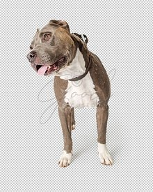 American Staffordshire Terrier Dog Tilting Head