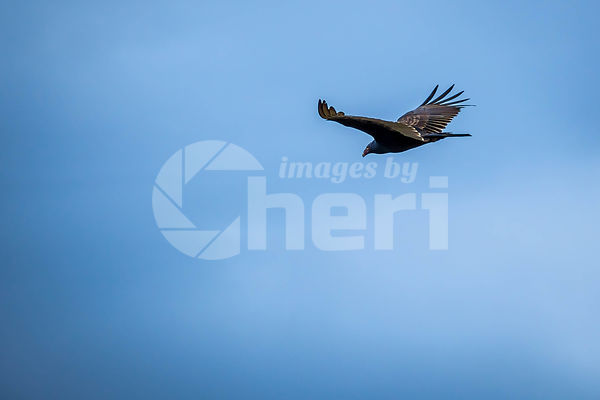 A large Turkey Vulture in Everglades National Park, Florida