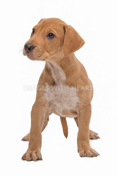 Brown puppy standing and looking to side