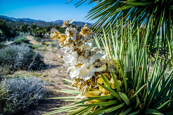 A white flowering yucca plant in Joshua National Park, California