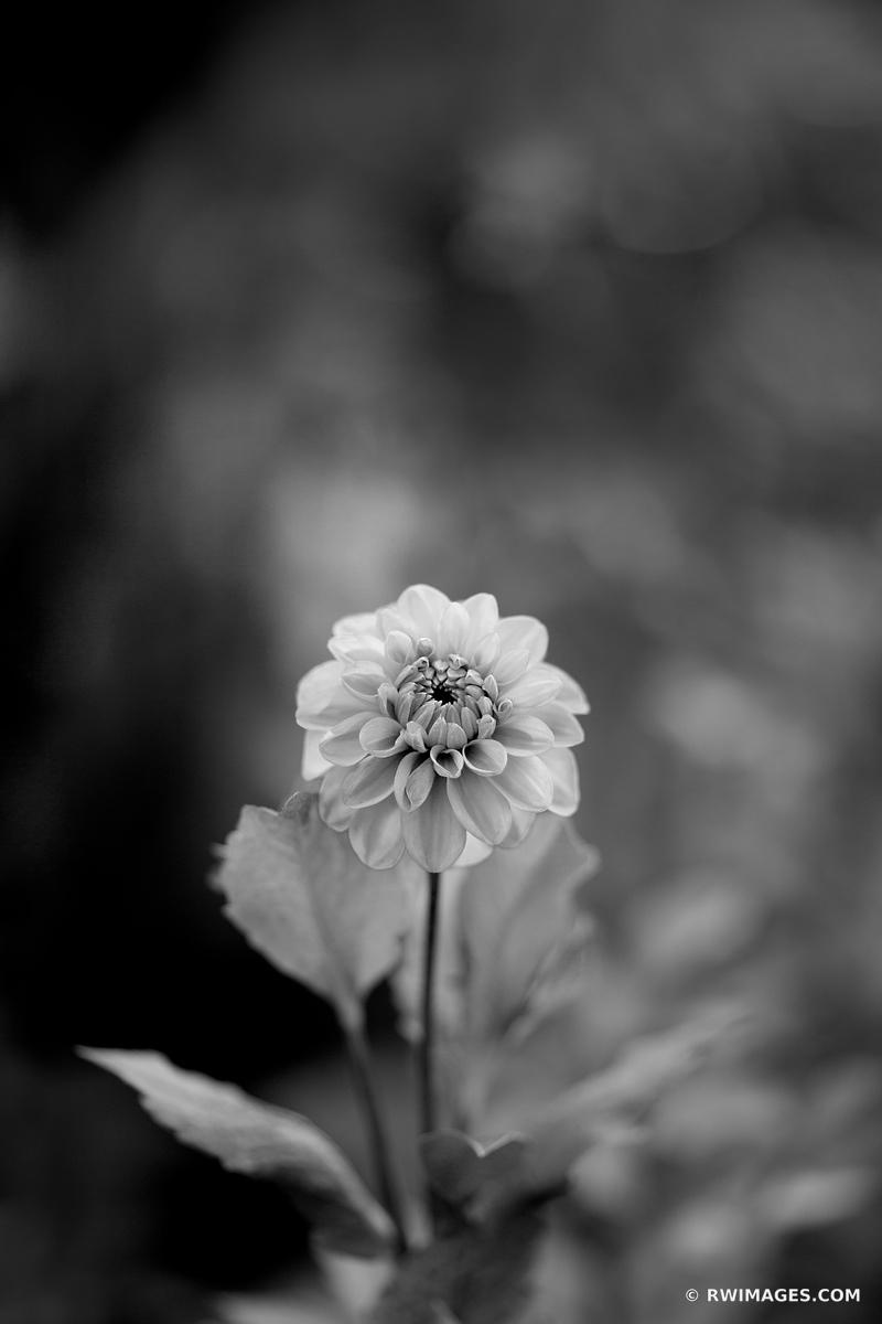 DAHLIA BOTANICAL BLACK AND WHITE VERTICAL