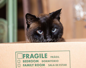 Siamese Cat Spying from Moving Box