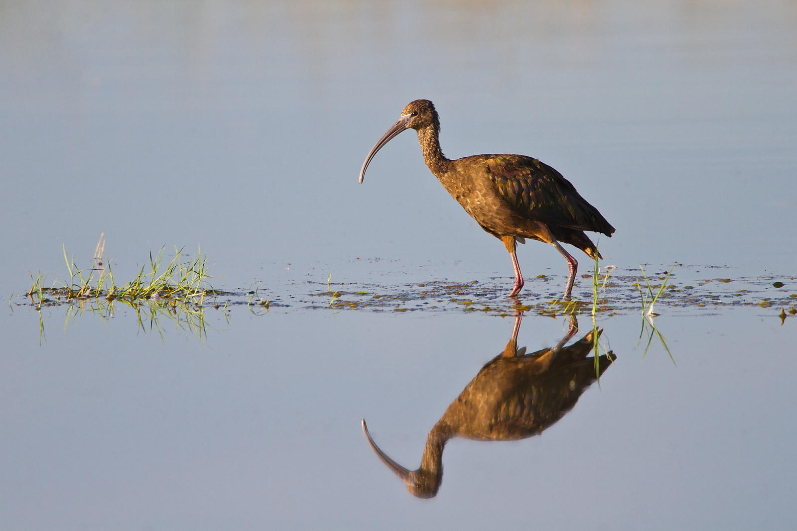 White-Faced Ibis Reflection