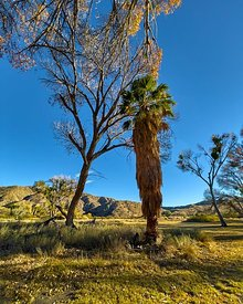 Cottonwood and Fan Palm