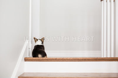 Back of corgi puppy sitting on stairs inside