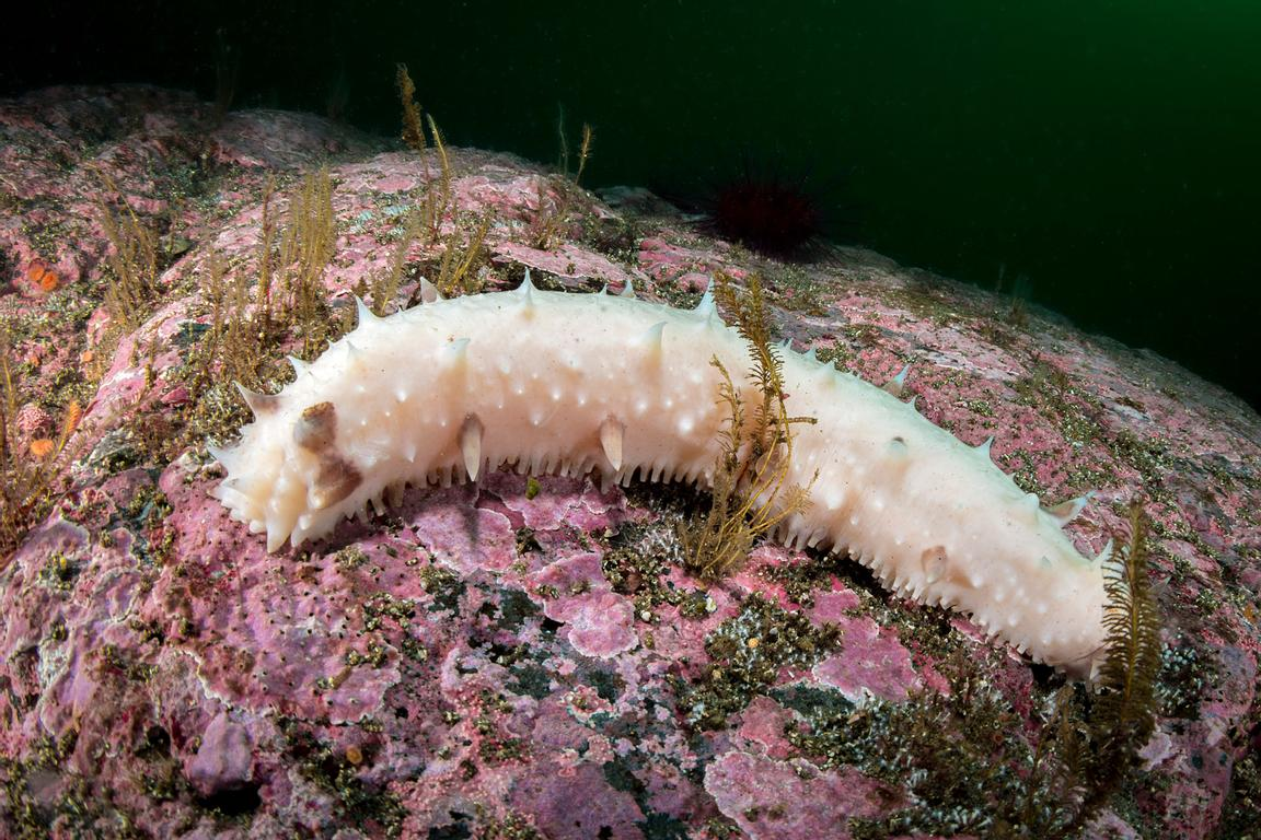 This is an unusual colour variation of the common Red Sea Cucumber, Apostichopus californicus.