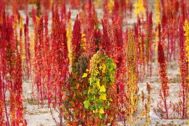 Red and yellow Royal Quinoa / Quinua Real (Chenopodium quinoa) plants and green leaves, Bolivia