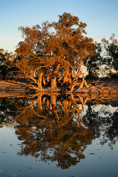 Eucalyptus camaldulensis, reflected in the still waters of the Great Darling Anabranch, NSW, Australia.