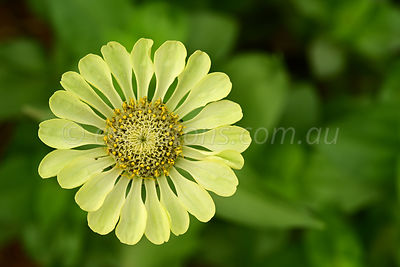 Yellow/green Zinnia flower