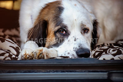 Sleepy Saint Bernard lying down in back of car on blanket
