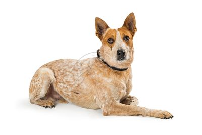 Sad sweet pet mixed breed dog lying isolated