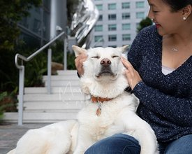 Large White Dog Closes Eyes While Asian Woman Pets Head