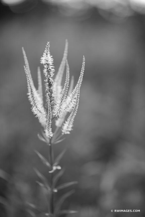 FALSE GOAT'S BEARD PRAIRIE BOTANICALS BLACK AND WHITE VERTICAL