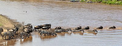 Zebra and Wildebeest Together Crossing Mara River
