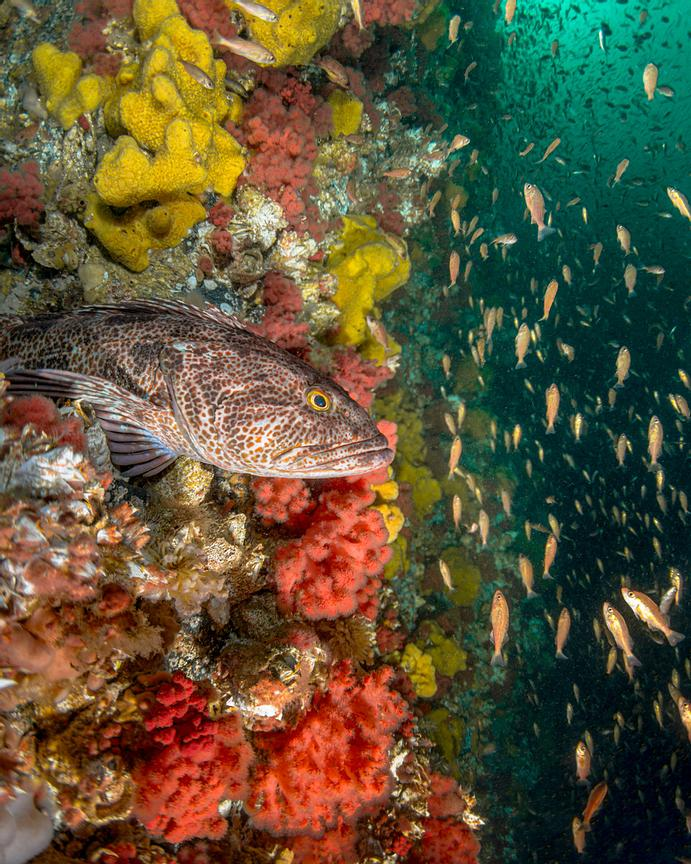 Lingcod, Ophiodon elongatus, perched on a ledge on Browning wall during the 2016 rockfish recruitment. Masses of Widow Rockfi...