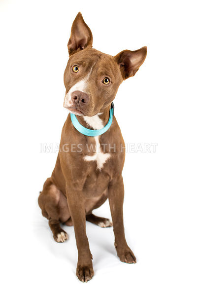 Brown pitbull mix sitting wearing blue collar