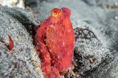 Small Ruby Octopus, Octopus rubescens, also known as the Eastern Pacific Red Octopus.
