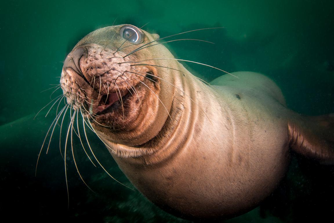 Steller Sea Lion, Eumetopias jubatus, showing a comical looking face.