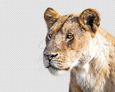 Closeup Lioness Profile Extracted