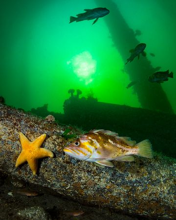 Copper Rockfish, Sebastes caurinus,  under the Argonaut Wharf in Campbell River.