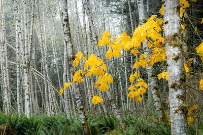 A lone yellow Maple tree stands among a thicket of Alder Trees.