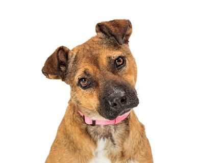 Pet Pit bull mixed breed dog head tilt isolated